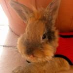 Trattamento non chirurgico degli ascessi della testa nei conigli