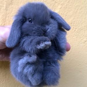 cucciolino_coniglioarietenano_blu