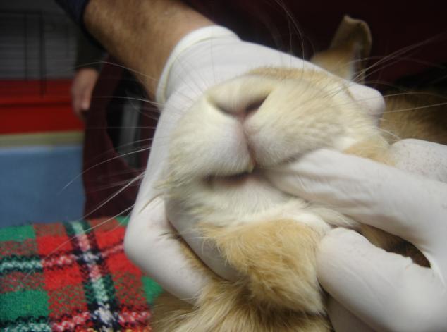 somministrazione-farmaci-e-alimentazione-forzata-coniglio