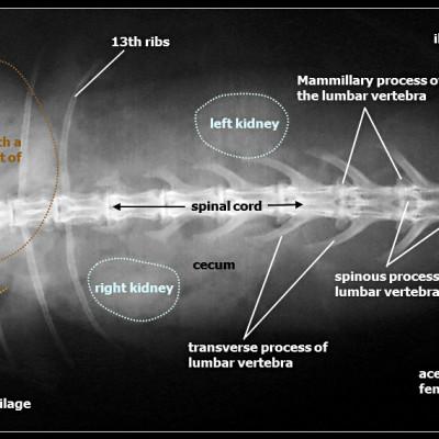 Radiografia dorso ventrale