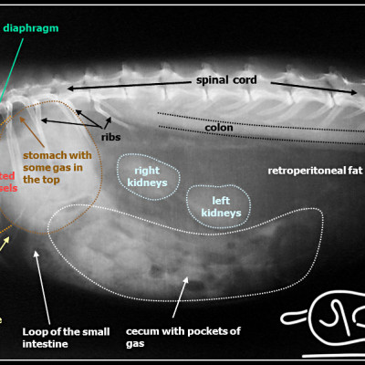 Radiografia laterale